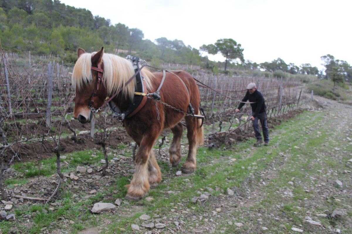 Richard, cavalier-laboureur des vignes