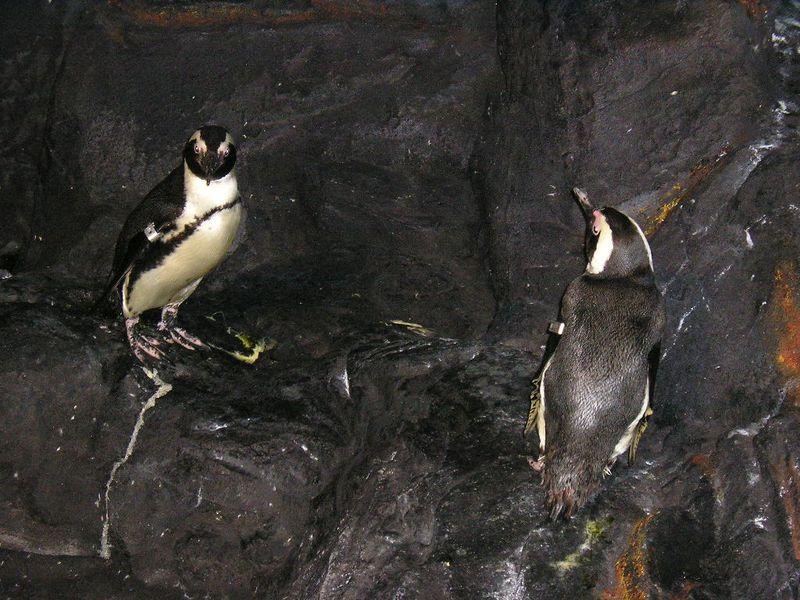 Des manchots du Cap. Ils proviennent du programme européen de reproduction en captivité