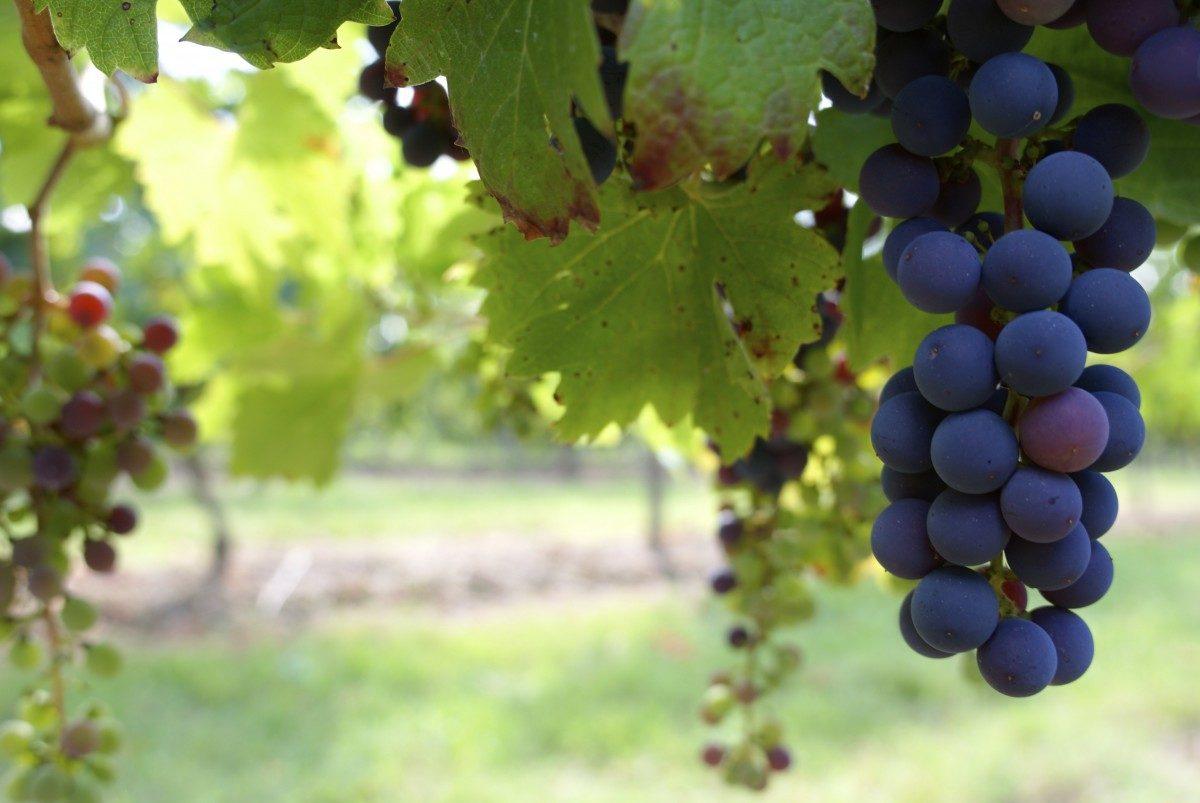 Agriculture bio : les viticulteurs s'inquiètent des désengagements de l'Etat