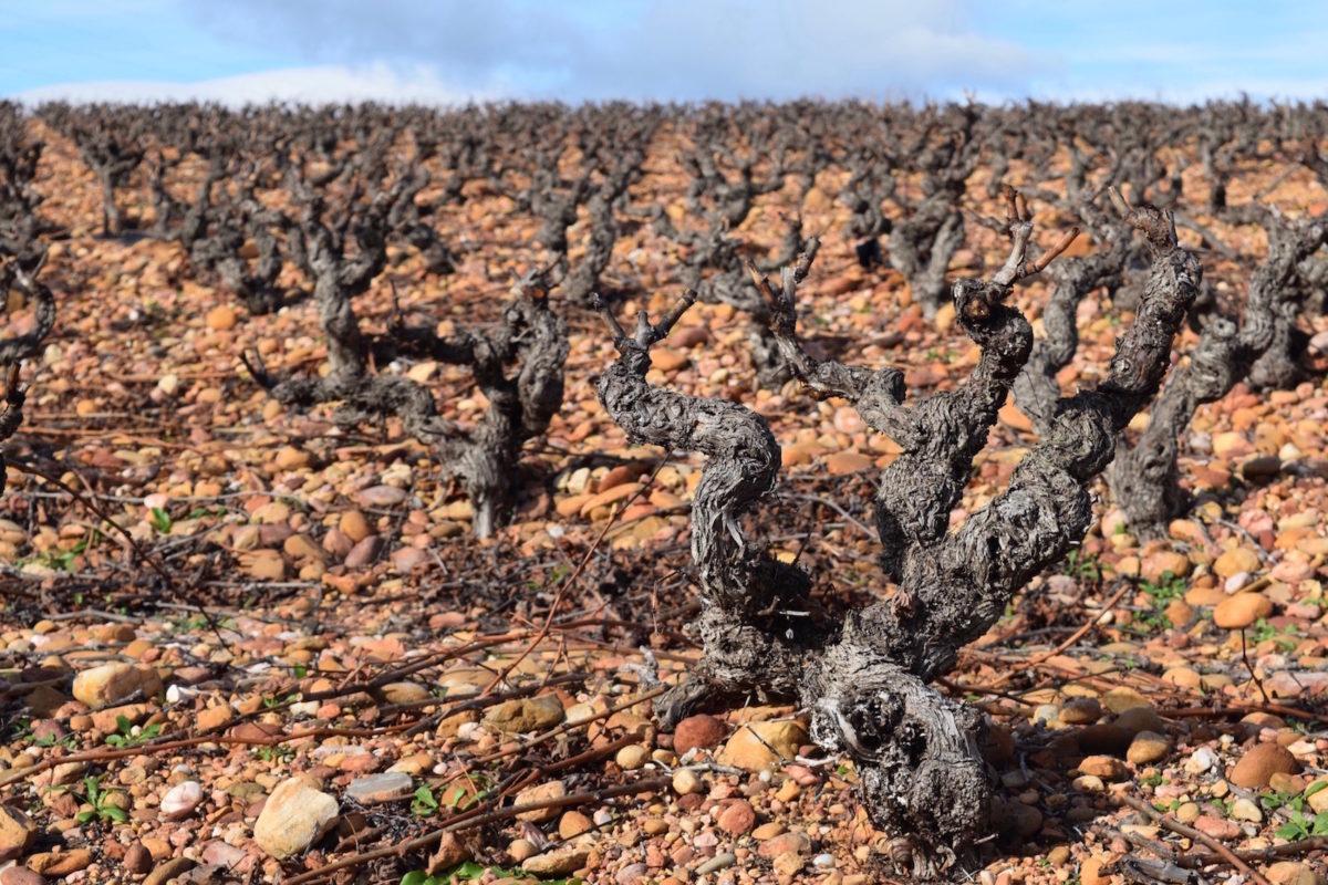 Changement climatique : Quand la vigne trinque les vignerons s'adaptent
