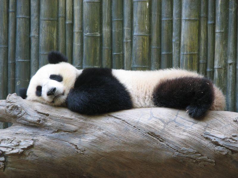 Panda chinois, un cadeau en voie de disparition