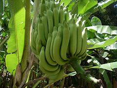 De 1972 à 1993, un produit antiparasitaire, contenant le très toxiqoe chlordécone, a été utilisé par les producteurs de banane de Martinique et de Guadeloupe.