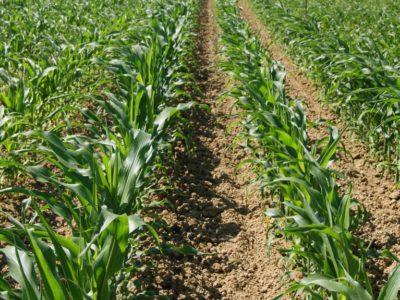 La monoculture de maïs domine les plaines agricole du sud-ouest