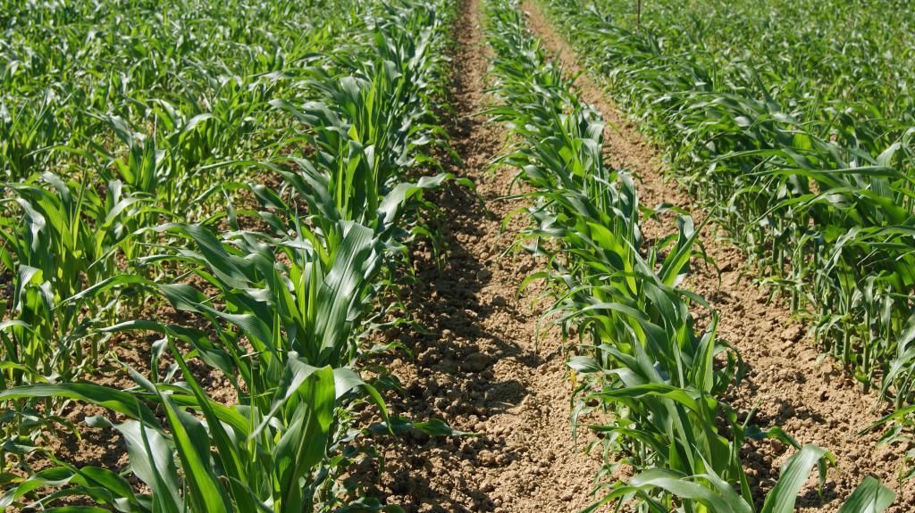 La monoculture de maïs dans le sud-ouest : modèle résilient aux changements climatiques ?