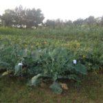 La pratique des cultures associées est développée par les agronomes