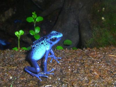 Au détour du chemin, cette grenouille dévoile ses alcaloïdes toxiques